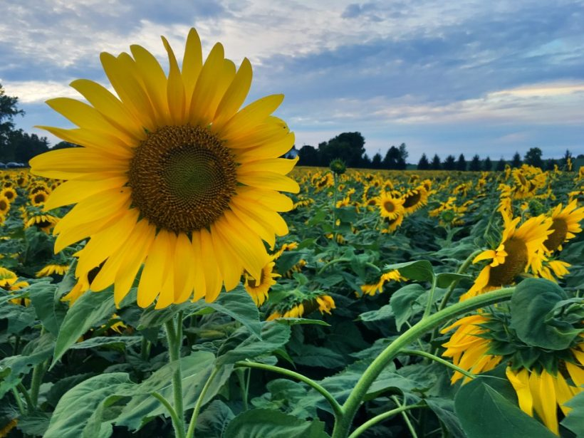 sunflowers-2379081_960_720
