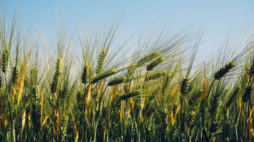 trigo-sembrado