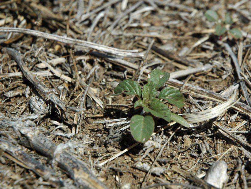 Amaranthus creciendo en rastrojo