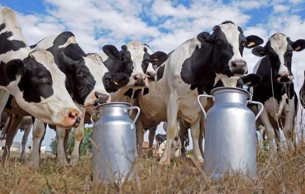 vacas-holstein-con-barriles-de-leche-678x381